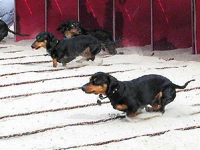 Photo Dogs Run Animal