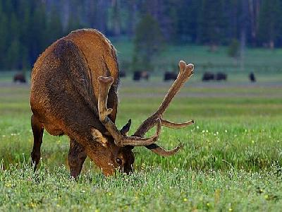 Photo Elk At Gibbon Meadow Animal