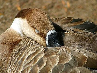 Photo Goose Animal