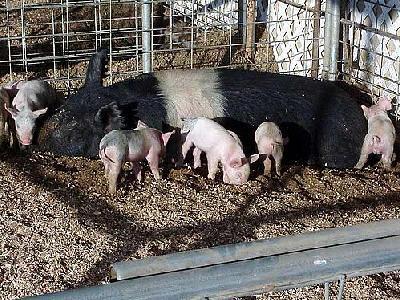 Photo Little Piggies Animal
