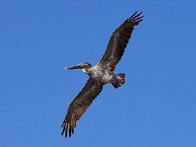 Photo Pelican Bird Animal