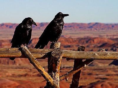Photo Ravens Animal