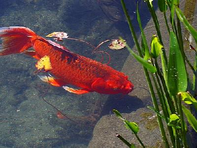 Photo Red Goldfish Animal