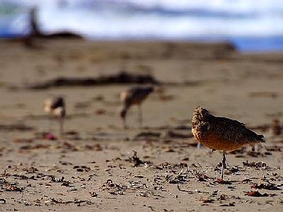 Photo Sand Piper Animal