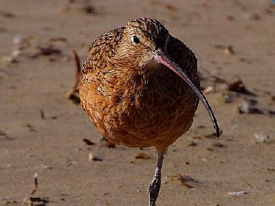 Photo Sand Piper 2 Animal