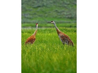 Photo Sandhill Cranes Animal