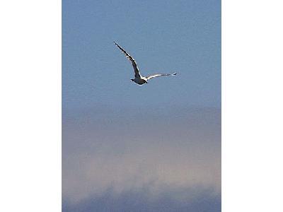 Photo Seagull 2 Animal