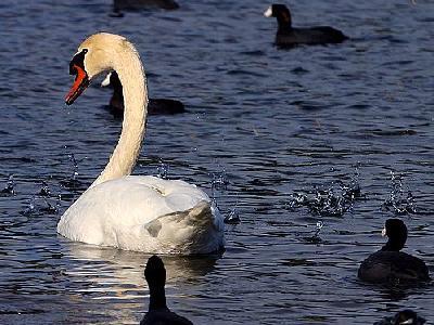 Photo Swan Animal