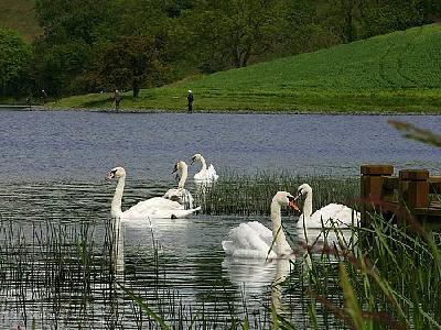 Photo Swans Animal