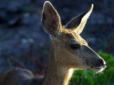 Photo White Tail Deer Animal