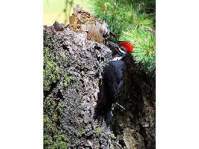 Photo Woodpecker Animal