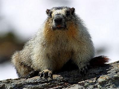 Photo Yellow Bellied Marmots Animal