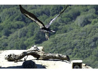 Photo Condor Animal