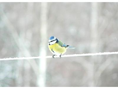 Photo Blue Tit On Clothesline Animal
