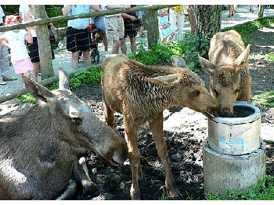 Photo Elk Calves Drinking Animal