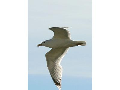 Photo Flying Seagull Close Up Animal
