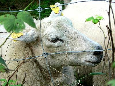 Photo Sheep Behind Fence Animal