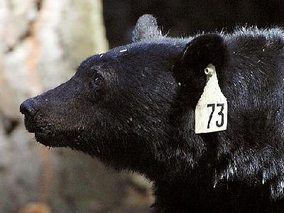 Photo Black Bear Animal