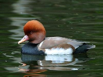 Photo Duck 4 Animal