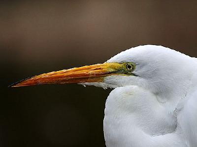 Photo Egret Animal