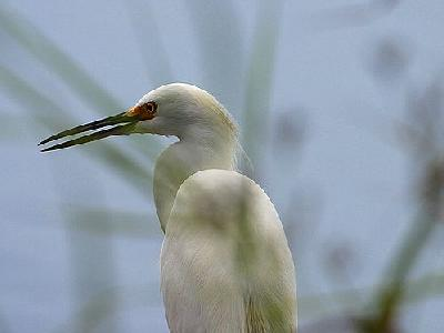 Photo Egret 4 Animal