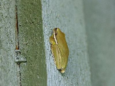 Photo Frog 2 Animal