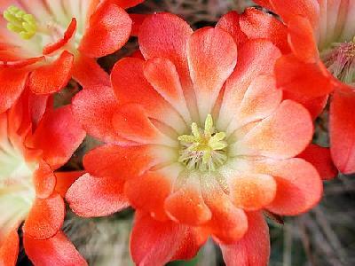 Photo Cactus 100 Flower