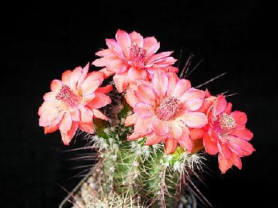 Photo Cactus 102 Flower