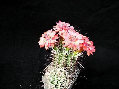 Photo Cactus 103 Flower