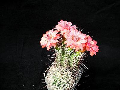 Photo Cactus 104 Flower