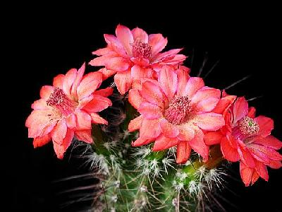 Photo Cactus 105 Flower
