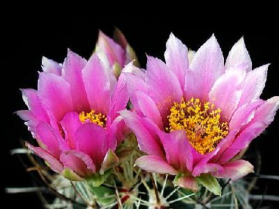 Photo Cactus 107 Flower