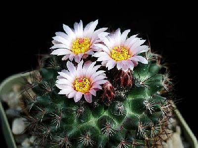 Photo Cactus 115 Flower