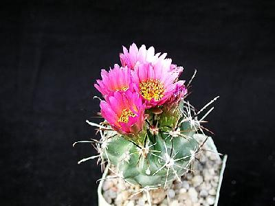 Photo Cactus 12 Flower