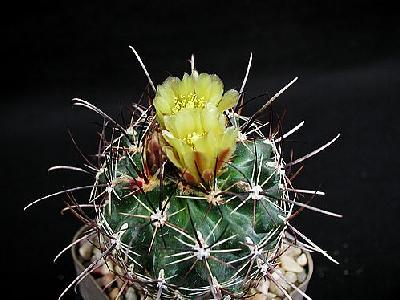 Photo Cactus 126 Flower