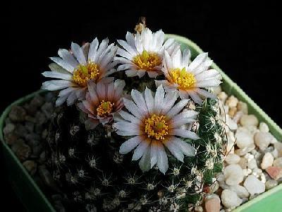 Photo Cactus 127 Flower