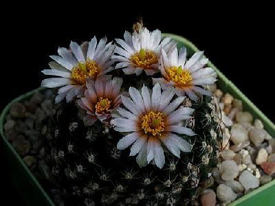 Photo Cactus 129 Flower