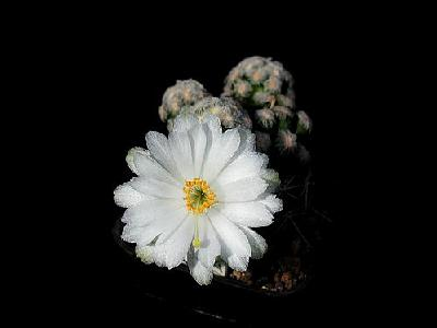 Photo Cactus 13 Flower