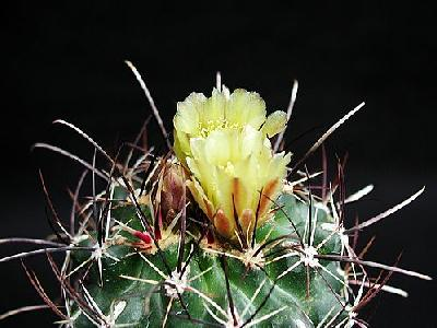 Photo Cactus 130 Flower