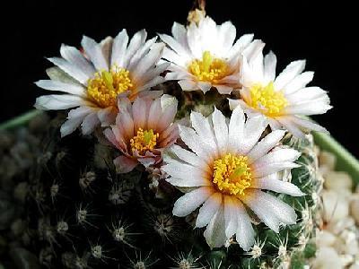 Photo Cactus 133 Flower