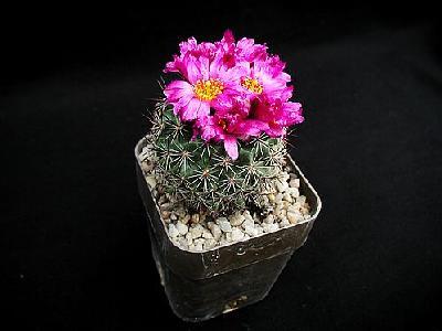 Photo Cactus 138 Flower
