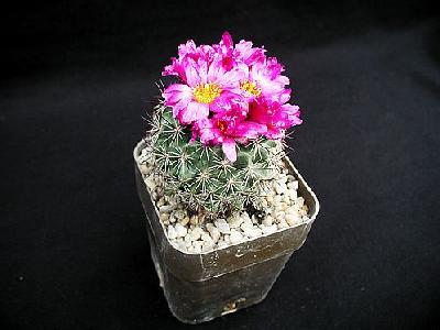 Photo Cactus 139 Flower