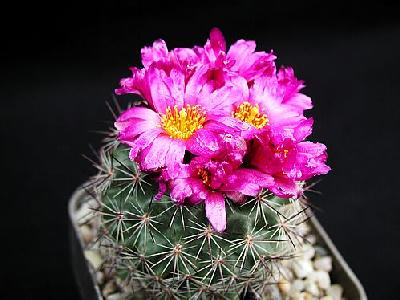 Photo Cactus 140 Flower