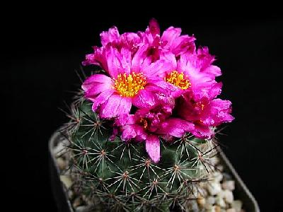 Photo Cactus 141 Flower