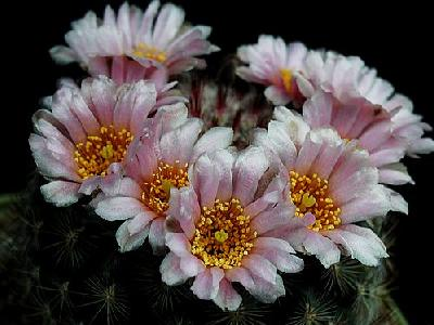 Photo Cactus 143 Flower
