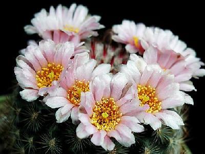 Photo Cactus 145 Flower