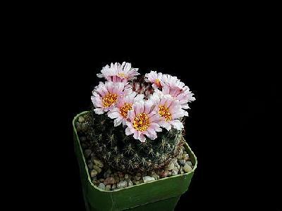 Photo Cactus 148 Flower