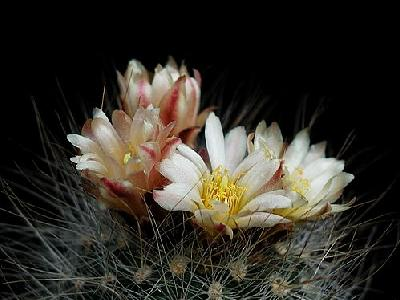 Photo Cactus 153 Flower