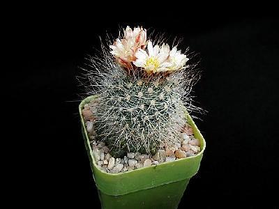Photo Cactus 154 Flower