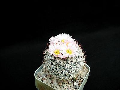 Photo Cactus 156 Flower